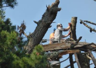 Monterey Pines (10)