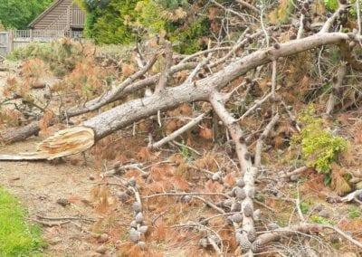 Monterey Pines (15)