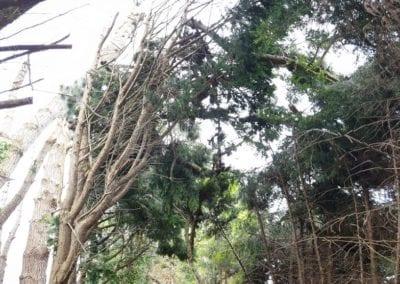 Monterey Pines (19)