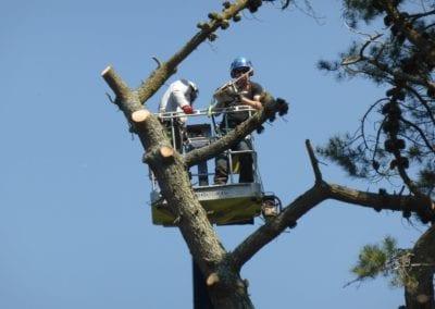 Monterey Pines (44)