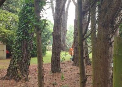Monterey Pines (5)