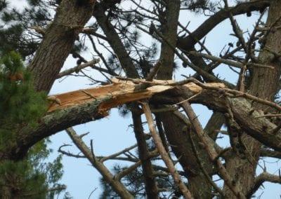 Monterey Pines (7)