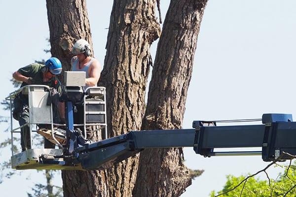 tree surgery locks heath